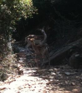 med fallow deer