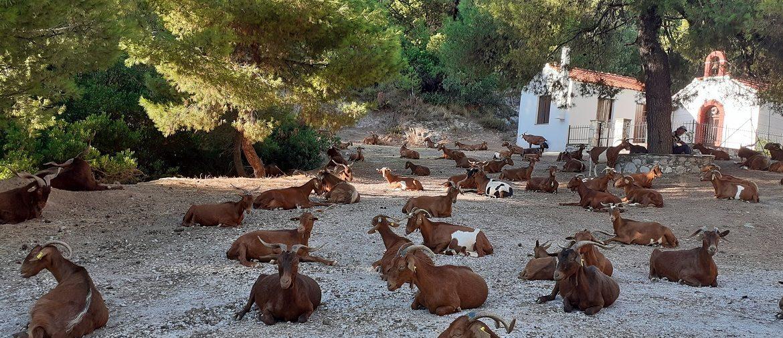 skopelos_goats